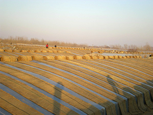 Vegetable greenhouses are partially covered with rice straw to aid in temperature control.